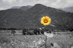 宜蘭南澳的六月向日葵花田